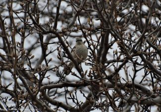 A Mockingbird tries to stay dry in the budding Bradford Pear tree.