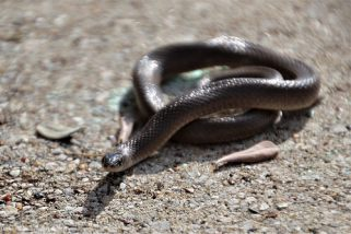 The Rough Earth Snake tries to warm its body in the sun. The ground was still very cool this morning.