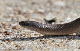 The head of a Rough Earth Snake