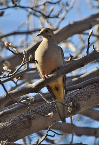 Alert Mourning Dove