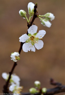 Pear or Plum Blossoms (???) in the rain
