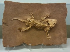 Ancient lizard fossil found in Texas