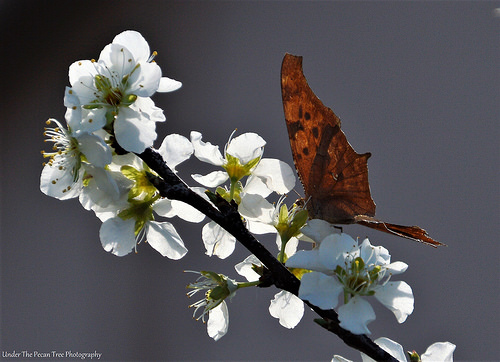 "A Question Mark gets nectar from the Mexican Plum blossoms. The butterfly got its name from the ""?"" in the lower wing, which can be seen very clearly in this photo."