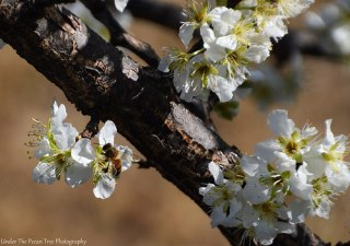 A very busy honey bee gets nectar and pollinates the Mexican Plum tree.