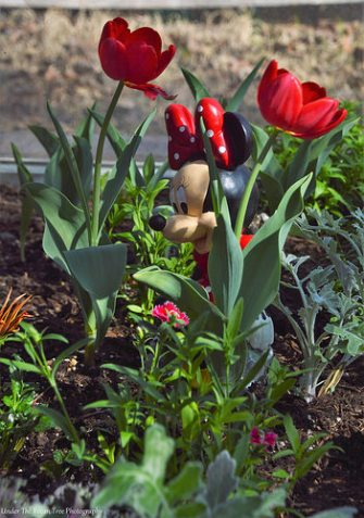The first tulips began to bloom. Minnie is very happy about it. ;)