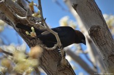 The other Brown-headed Cowbird keeps an eye on me.