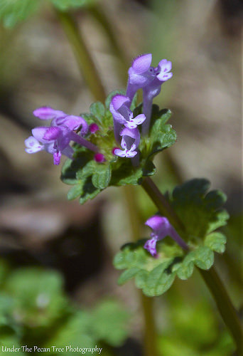 Henbit usually always blooms first in our yard.