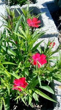 I was so excited to see the Dianthus bloom in my raised bed.