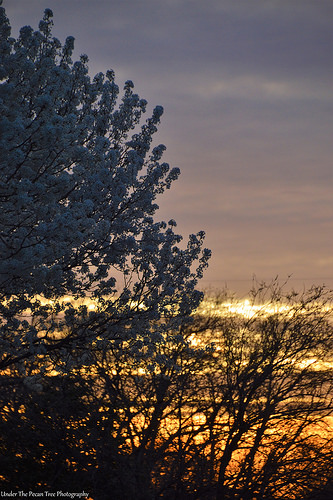 Tonight's beautiful sunset with Bradford Pear Blossoms in the fore ground