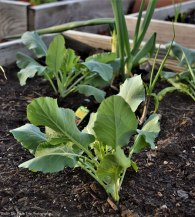 Cauliflowers and other goodies in our raised bed
