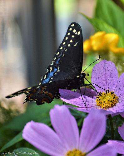 Hungry Black Swallowtail
