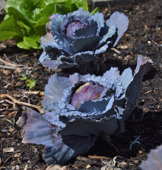 Red Cabbages and Romaine Lettuce