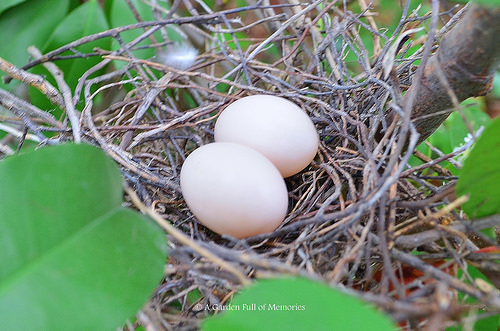 One of my Photinia bushes will be the nursery for two little baby White-winged Doves, soon. <3