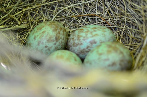 Precious four little Mockingbird eggs (I wish I had a sharper shot. But Mommy and Daddy Mockingbird put their nest in a safe spot, where it is hard to reach, for a good reason.)