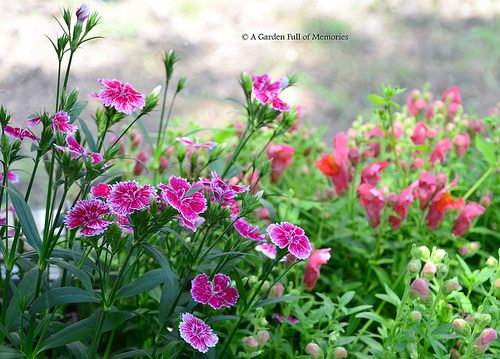 Sweet William (left) and Snapdragon (right)