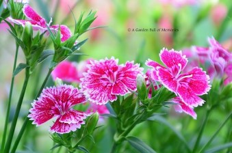 Sweet William in full bloom