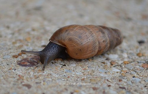The Decollate Snail just came back out of its house.
