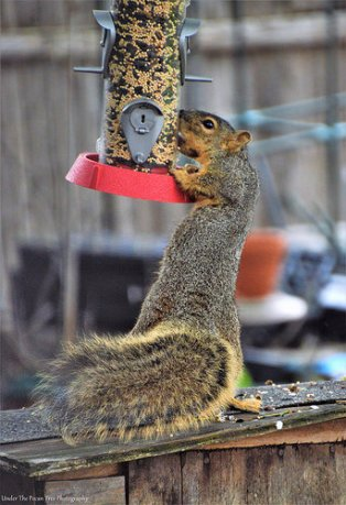 Mr. Squirrel gets himself an easy fix of brunch on the tube feeder.