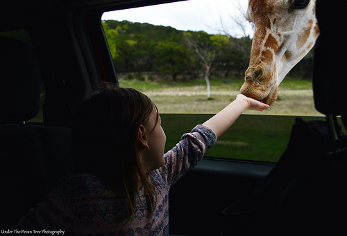 Sara feeds the Junior Giraffe