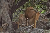 Momma and Baby Aoudad