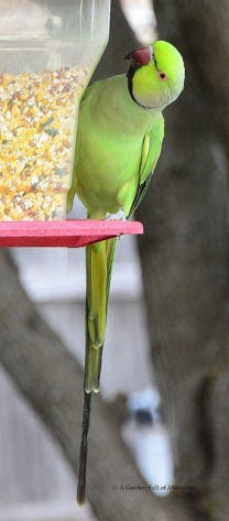 The feeder attracted the parrot.