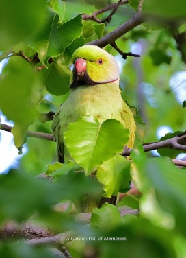The African Ringneck watched the Sun rise in my Bradford Pear tree.
