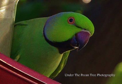 Sydney, the African Ringneck parrot, lives in our Bradford Pear tree.