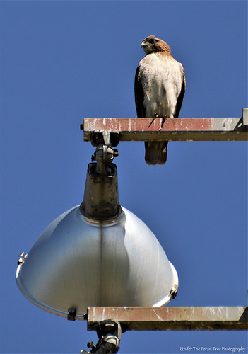 Red-tailed Hawk I