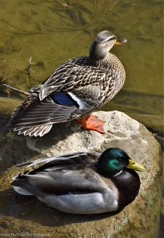 Resting Mallards at the creek in Bill Allen Memorial Park