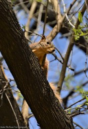 Fox Squirrel # 1