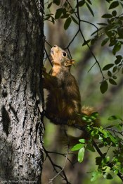 Fox Squirrel # 2