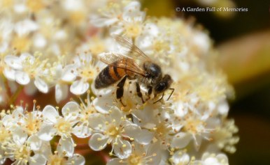 Pollinating bee on Photinia Blossoms