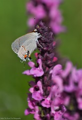Common Gray Hairstreak Butterfly
