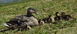 Mother Duck with her sweet offspring