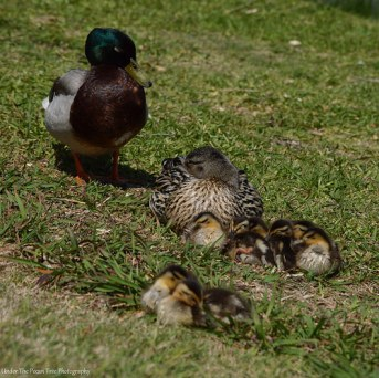 Daddy Duck keeps an eye on his lady and the offspring, while they take a nap.