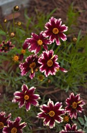 "Some blooms, I planted last year: Coreopsis ""Ruby Frost""/Tickseed"