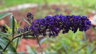 "The ""Black Knight"" Butterfly Bush can get up to 10 feet tall and 6 feet wide."
