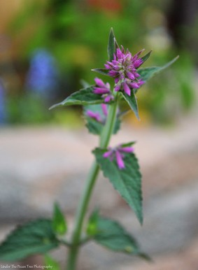 "I love the smell of the Agastache ""Tutti Frutti"" plant."