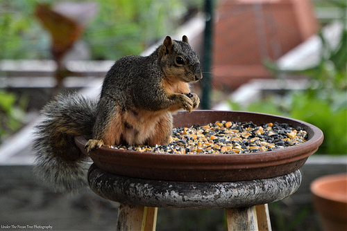 Sandy is very hungry lately. Mr. Squirrel must knocked her up, already. ;)