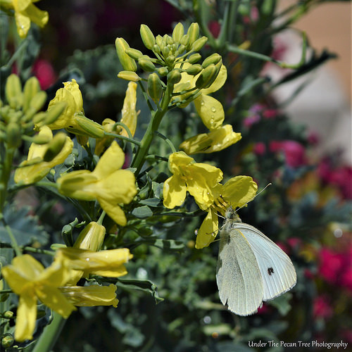 Cabbage White on Blooming Kale
