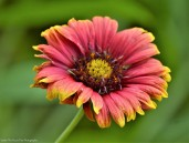 Firewheel/Indian Blanket