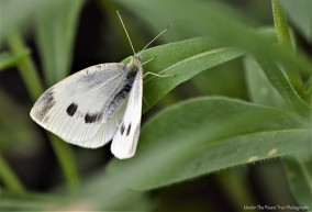 The Intruder: Cabbage White Butterfly :(