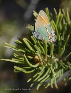 Canyon Bramble Hairstreak Butterfly (Callophrys affinis) (2008)