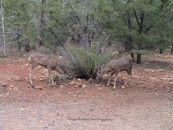 Two young white-tailed bucks lick stones for minerals.