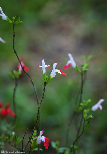 "A little bit of a touch of color from the Salvia ""Hot Lips"""