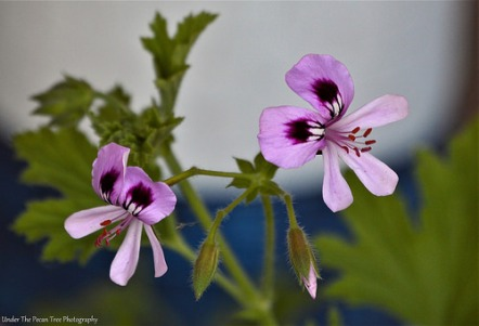 I love these delicate little geranium blossoms.