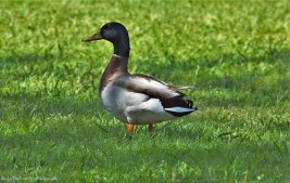 """Lonely"" Mallard Duck"