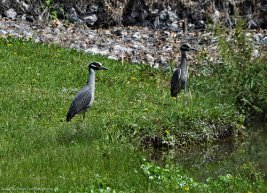 Yellow-crowned Night Herons