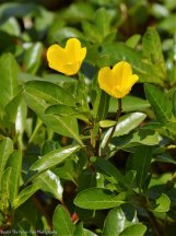 Yellow Primrose Creeper