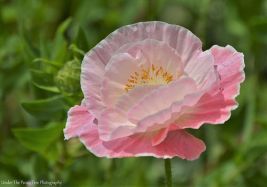 Rose-colored Poppy